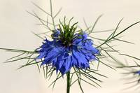 Love in a Mist Flower 2016