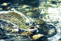 Trout in Stream