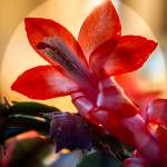 """""""Christmas Cactus Flower"""" by haybales"""