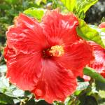 """2016-06-29 Red Hibiscus Flower"" by rhamm"