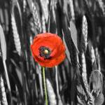 """Poppy in Field"" by tomgnt"