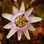 """Passion Flower Magenta"" by StevenRichards"
