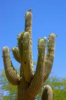 Bird on Blooming Saguaro Cactus