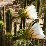 """White Cactus Flowers e"" by Groecar"