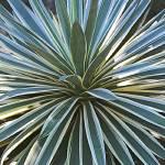 """Mesmerizing Agave Plant"" by Groecar"