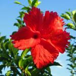 """""""Hawaiian Hibiscus"""" by joeyartist"""