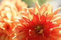 Waking Up to Dahlias