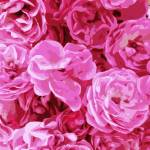 """Canvas of Pink Roses - Digital Art"" by Groecar"
