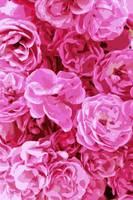 Canvas of Pink Roses - Digital Art by Carol Groenen