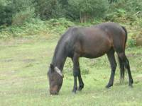 new-forest-horse pony
