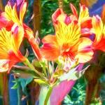 """Alstroemeria Peruvian Lily"" by johncorney"