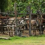 """Mules in a Holding Pen"" by rhamm"
