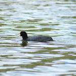 """Swimming Andean Coot"" by rhamm"