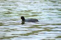 Swimming Andean Coot