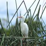 """Young Cattle Egret"" by rhamm"