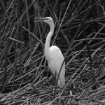 """""""Heron in Reeds"""" by rhamm"""