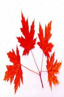 Canada Maple Leaf 2016 - Allen Graih Image