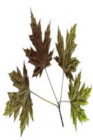 Maple Leaves 01 2013 - Del Calsione Company Image