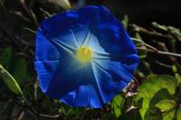Blue Flower in Bloom