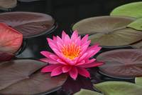 Fiery Beauty Of A Waterlily