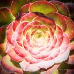 """Succulent #3"" by johncorney"