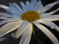 Daisy in the soft evening light