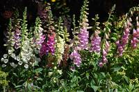 Foxgloves in St. James Park, London