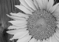 Sunflower B&W