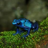 Blue Poison Dart Frog Art Prints & Posters by LD Franklin