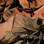"""Dried Leaves"" by rhamm"