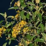 """""""Yellow Flowers on a Bush"""" by rhamm"""