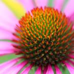 """Purple Coneflower Macro"" by KsWorldArt"