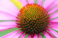 Purple Coneflower Macro
