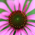 """Purple Coneflower"" by KsWorldArt"