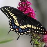 """Black Swallowtail Butterfly Cropped"" by KsWorldArt"