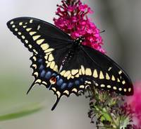 Black Swallowtail Butterfly Cropped
