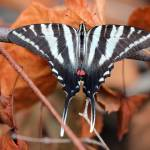 """Zebra Swallowtail Butterfly Dorsal View"" by KsWorldArt"