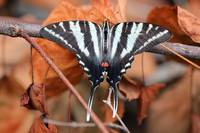 Zebra Swallowtail Butterfly Dorsal View