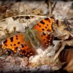"""Eastern Comma Butterfly Dorsal View 2016"" by KsWorldArt"