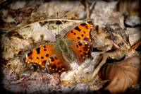 Eastern Comma Butterfly Dorsal View 2016