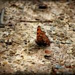 """Eastern Comma Butterfly Ventral View 2016"" by KsWorldArt"