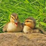 """Mallard Chicks"" by shelshots"