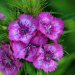 """Pink Sweet William Flowers 2016"" by KsWorldArt"