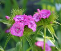 Pink Sweet William Flower Portrait 2016