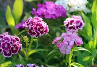 Sweet William Flowers in Garden 2016