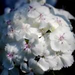 """White Sweet William Flower Square 2016"" by KsWorldArt"