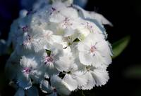 White Sweet William Flower Cluster 2016