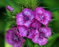 Pink Sweet William Flowers 2016