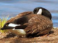 Resting Canadian Goose