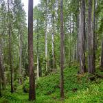 """Panorama of trail through Redwoods and ferns"" by JohnChaoPhoto"